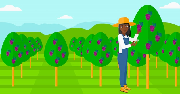 Coltivatore che raccoglie l'uva.