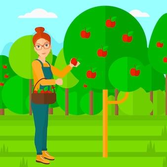 Coltivatore che raccoglie le mele.