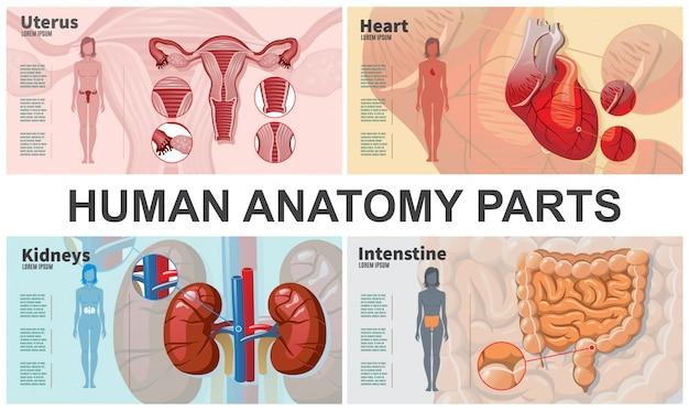 Composizione di organi umani del fumetto con la donna profila l'anatomia dell'utero del cuore dell'intestino dei reni
