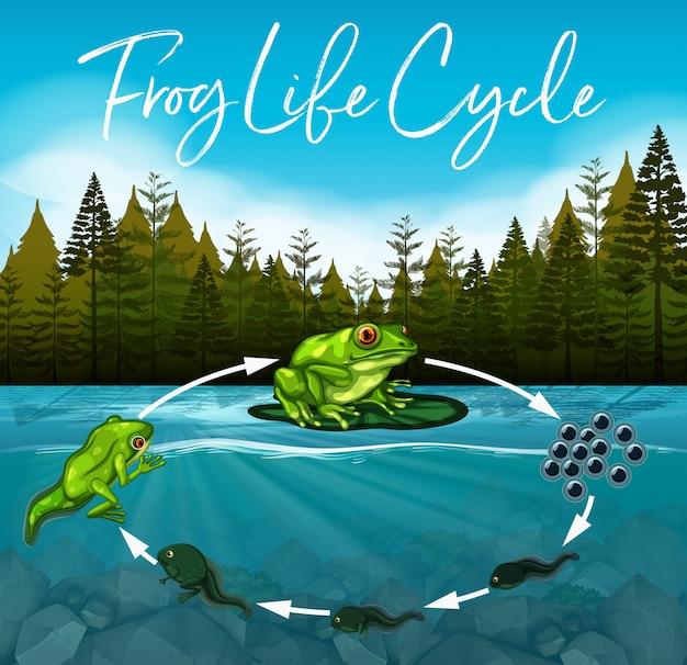 Concetto di ciclo di vita di rana