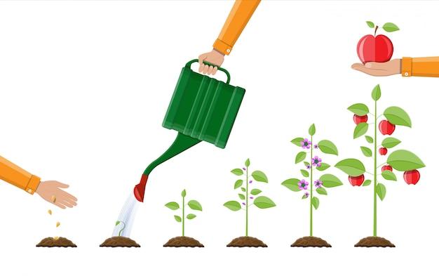 Crescita della pianta, dal germoglio alla frutta.