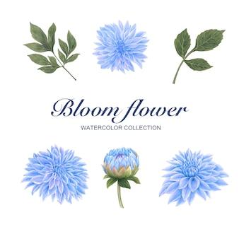 Crisantemo creativo dell'acquerello del fiore della fioritura su bianco per uso decorativo.