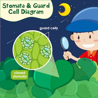 Diagramma che mostra gli stomi e il diagramma delle cellule di guardia