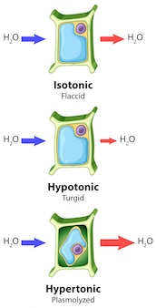 Diagramma che mostra il concetto di osmosi delle cellule vegetali