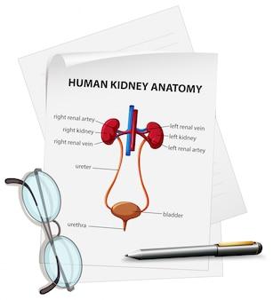 Diagramma che mostra l'anatomia del rene umano su carta