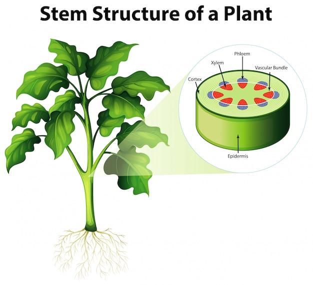 Diagramma che mostra la struttura del gambo di una pianta