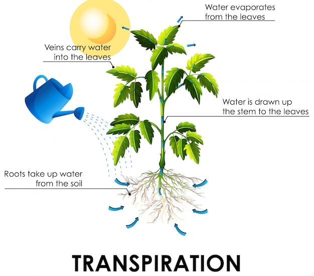 Diagramma che mostra la traspirazione con piante e acqua