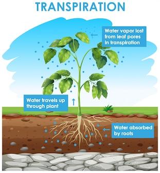 Diagramma che mostra la traspirazione nella pianta