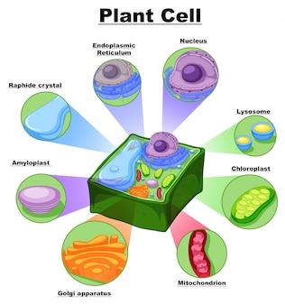 Diagramma che mostra le parti della cellula vegetale