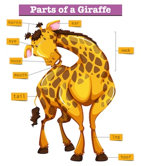 Diagramma che mostra parti della giraffa