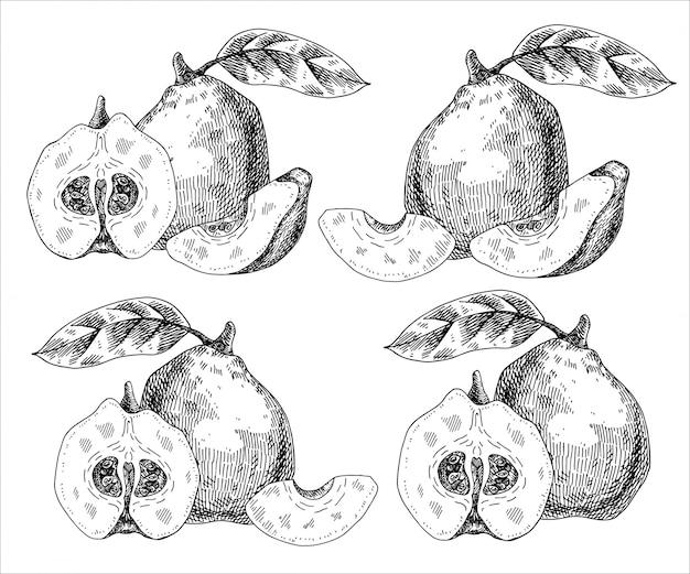 Disegnata a mano frutta mela cotogna