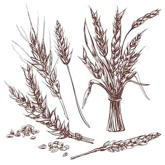 Disegnata a mano spighe di grano in mano disegnata