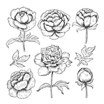 Disegnate a mano peonie. schizzo del giardino floreale della raccolta di gemme e foglie di fiori di peonie
