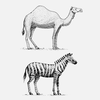 Disegnati a mano cammello e zebra, incisi animali selvatici in stile vintage o retrò, set di zoologia africana