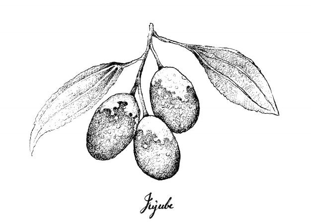 Disegnato a mano dei frutti della giuggiola su fondo bianco