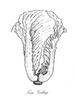 Disegnato a mano del cavolo di napa su fondo bianco