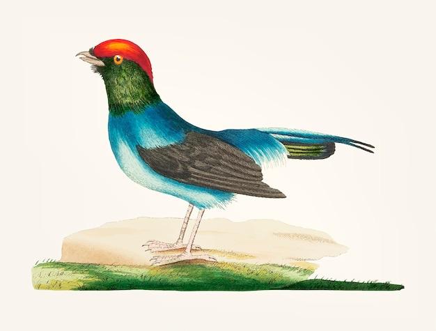 Disegnato a mano del manakin dalla coda lunga