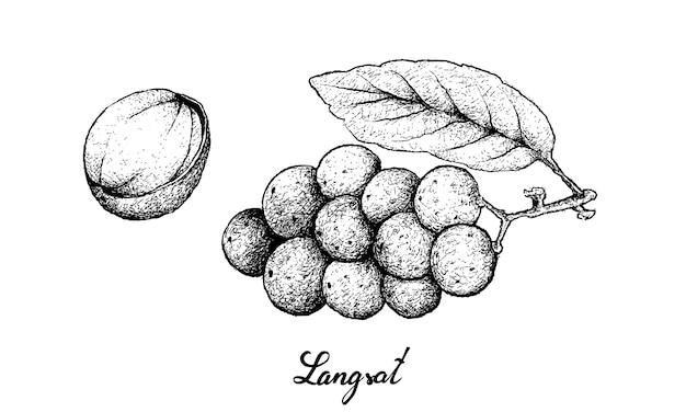 Disegnato a mano della frutta di langsat su fondo bianco