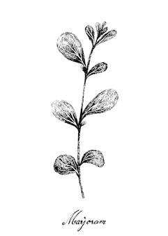 Disegnato a mano della pianta di maggiorana fresca su bianco