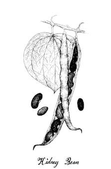 Disegnato a mano di baccelli di fagioli su una pianta