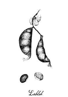 Disegnato a mano di baccelli dolichos lablab freschi