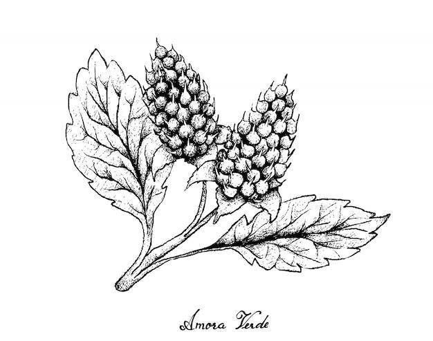 Disegnato a mano di bacche di amora verde su sfondo bianco