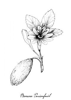 Disegnato a mano di banana passionfruit su sfondo bianco