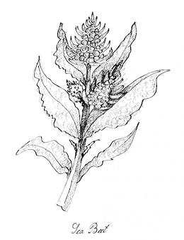 Disegnato a mano di barbabietola da mare su fondo bianco