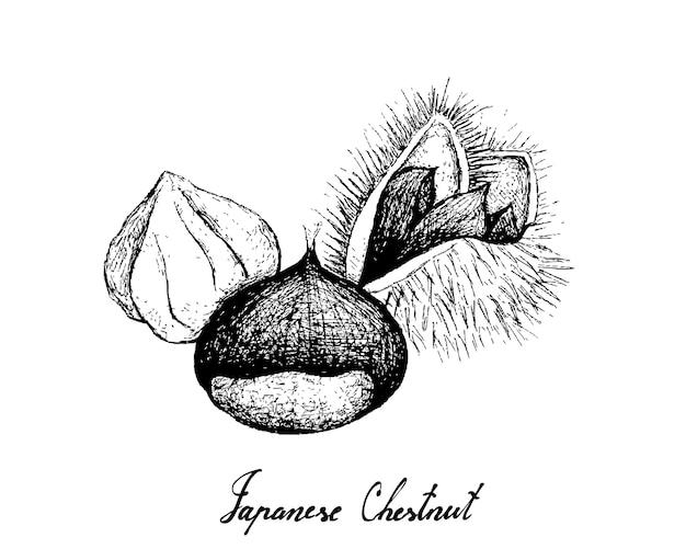 Disegnato a mano di castagne giapponesi su sfondo bianco