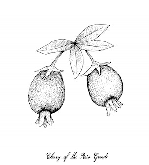Disegnato a mano di ciliegia del rio grande