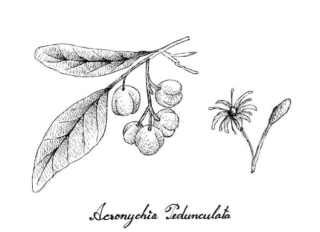 Disegnato a mano di frutti di pedunculata di acronychia