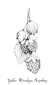 Disegnato a mano di golden himalayan raspberries