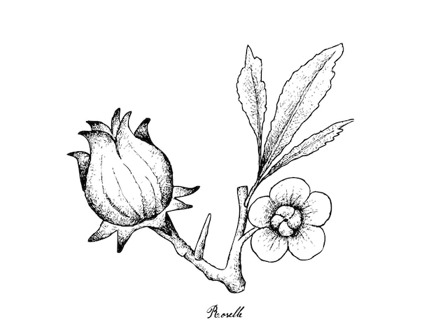 Disegnato a mano di hibiscus sabdariffa o roselle