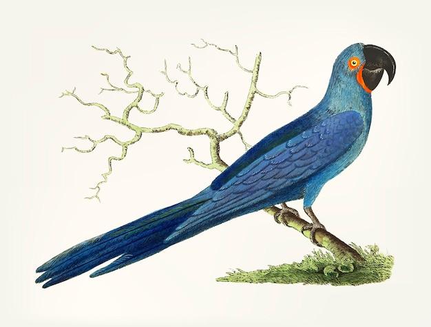 Disegnato a mano di maccaw blu profondo dalla lunga coda