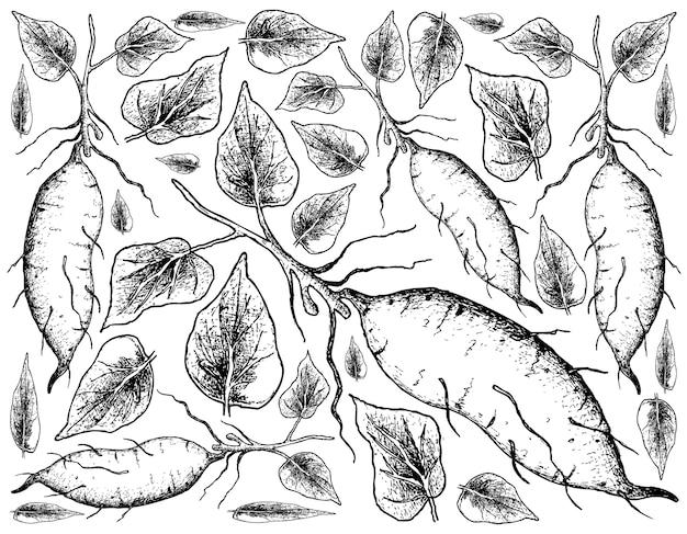 Disegnato a mano di patata dolce su fondo bianco