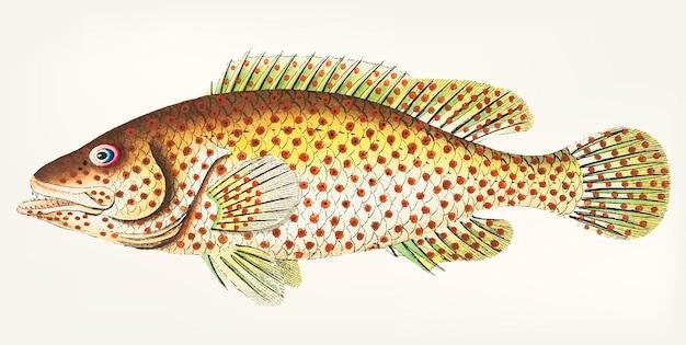 Disegnato a mano di pesce persico rosso-macchiato