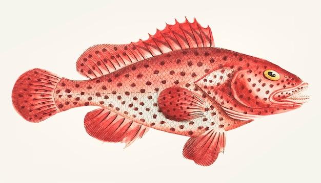 Disegnato a mano di pesce persico sanguine