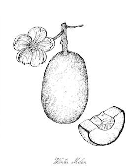 Disegnato a mano di piante di melone d'inverno con frutta
