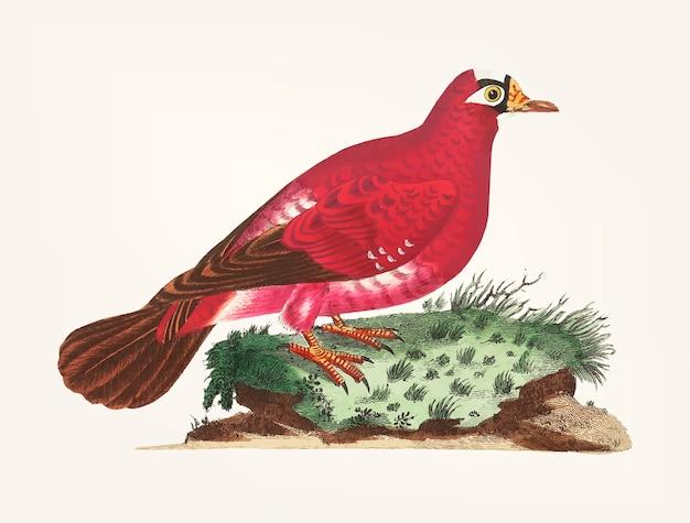 Disegnato a mano di piccione cremisi