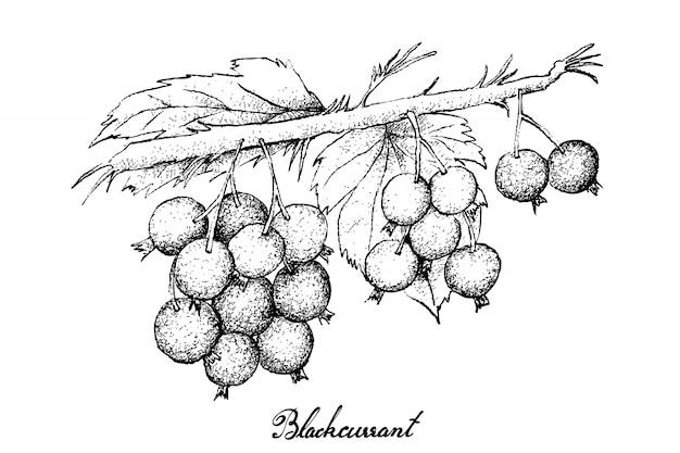 Disegnato a mano di ribes nero maturo su sfondo bianco