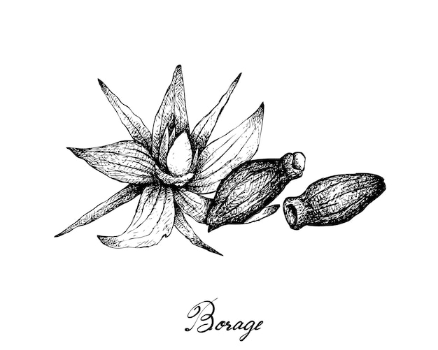 Disegnato a mano di semi di borragine su sfondo bianco