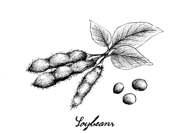 Disegnato a mano di soia verde fresca deliziosa