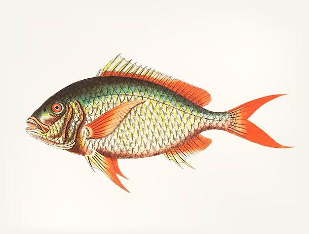 Disegnato a mano di sparus dalla coda rossa