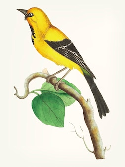 Disegnato a mano di uccello di banana minore