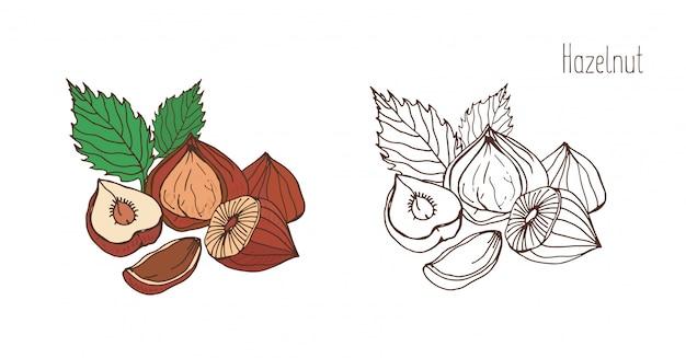 Disegni colorati e monocromatici di nocciola con foglie. deliziose drupe commestibili o noci disegnate a mano in un elegante stile vintage. illustrazione naturale.