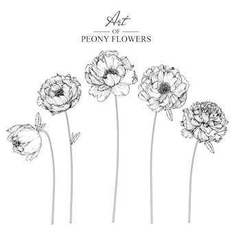 Disegni di foglie e fiori di peonia. illustrazioni botaniche disegnate a mano dell'annata.