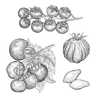 Disegno a mano di pomodori vegetali.