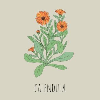 Disegno dettagliato colorato di calendula in fiore. bella pianta erbacea medicinale con fiori e foglie disegnati a mano in stile vintage. splendida erba fiorita. illustrazione botanica.