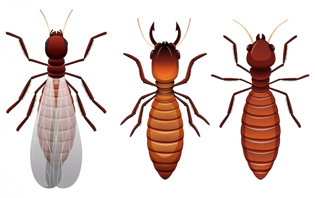 Diverse fasi di una termite