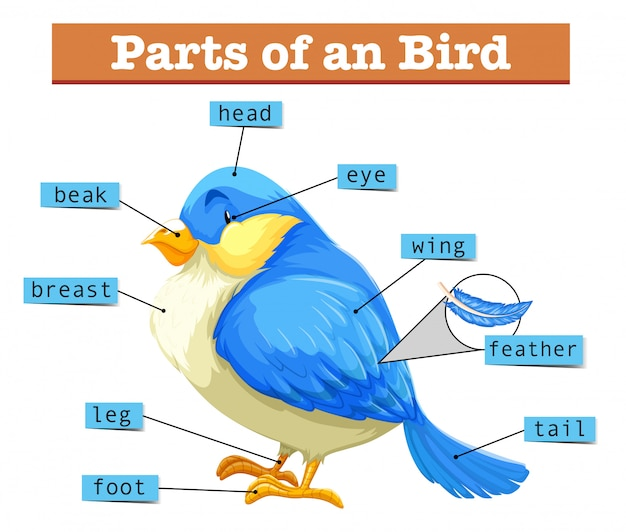Diverse parti del piccolo uccello blu